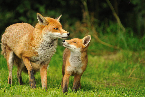 cey-lon:  Fox and Cub (by Ami 211)