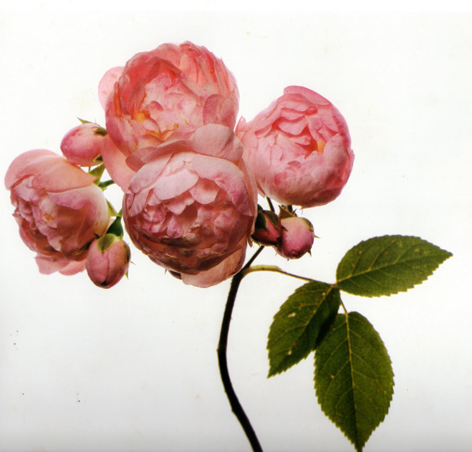 Spending the afternoon swimming in Irving Penn's flower photos. The above is from a 1971 issue of Vogue. (via Decade Diary: Ringoringoringo)