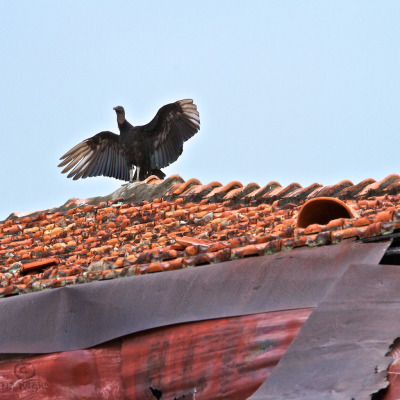 Vulture on ceramic roof.