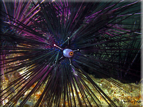 Sea Urchin | Echinoidea sp (by Ammar Al-Fouzan)