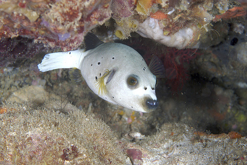 Blackspotted Puffer | Arothron nigropunctatus  (by kwonyee88)