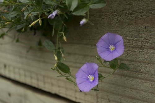 botany:  Ipomea Violacea - Morning Glory