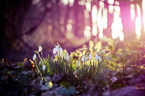 prettylittleflower: подснежники (по kirstinmckee)