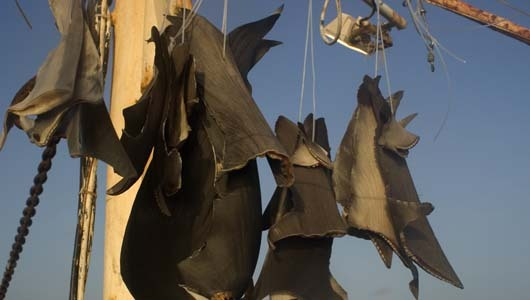 mothernaturenetwork:  New York eyes shark fin trade banN.Y. legislators unveiled a draft law banning trade in shark fins, saying the practice was decimating the ocean predators.