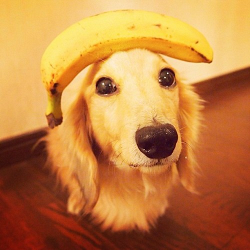 Dog Iver with a banana on his head.