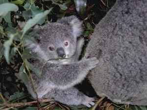 WHAT ARE KOALA'S PURPOSE IN LIFE? My friend said they have none, but they wouldn't exist if they didn't right????