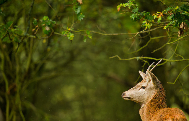 Stag by JPBWright on Flickr.