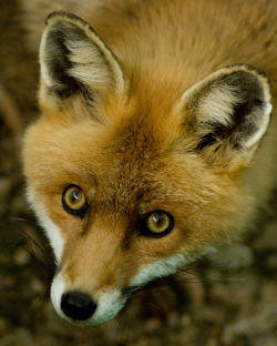 Red Fox by ~h-e-photography
