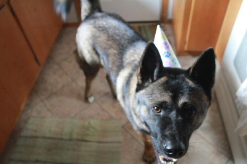"chels:  Yesterday we had a birthday for the dogbear. Decan is 2 years old and he knew something special was going down the minute we started preparations. We gave him a banana and a squeaky toy in the shape of a cupcake with cream cheese on top (his two favorite people foods) and then a meat bone thing, which, you know, is perfect for dogs. He loved every bit of it. To be honest, he didn't love the paper hat, but he put up with it.  When we set the plate down on the ground for him, he pranced around and sort of looked at everyone like, ""Really?! I get to eat off of a plate?!? WHAT?!?!"" And then he settled in to eat his treats. We let him go outside with the squeaker toy, which he immediately destroyed, and then we enjoyed ourselves some root beer floats, because it was a birthday party afterall.  A while later, he was itching to come in (which is rare - he usually wants to live outside), and as soon as he got in the door we realized why. He'd been skunked. He smelled worse than skunk smell though. At short range, it has a sort of gasoline quality to it. I fired up the internet which told us how to get rid of the smell and then we whipped up a concoction of baking soda and dish soap and some other stuff. We had to trap him in the bathroom and lift him into the tub, and he really hated it. It was like the dog equivalent of partying too hard and then having your friends clean you up after you've thrown up all over your dress in the cab."