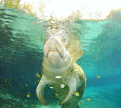fyeah-seacreatures:  Manatee, Crystal River. By: AlKok
