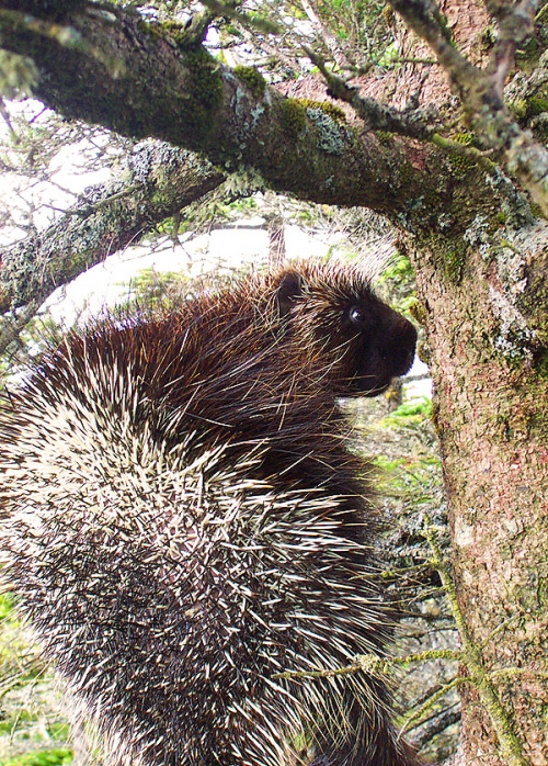 The first sighting of a porcupine in Newfoundland was recorded in October, 2011. In Nova Scotia they are very common and can be quite destructive. Met this guy on the trail a couple of years ago. Fun to watch, but keep them away from your dog. Could lead to an expensive vet bill.