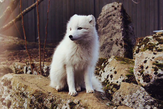 cannolis:  polar fox by thirtymileswest on Flickr.