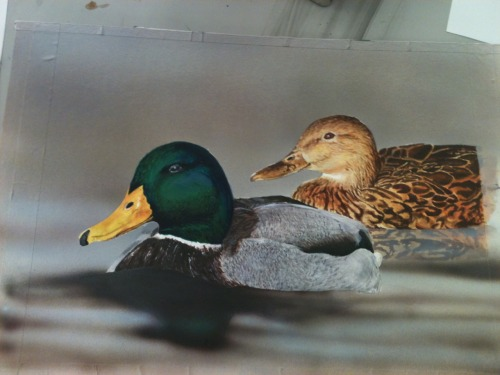 airbrushed (most of) the background onto my ducks. :) Now all I have to do is add details and hope I win!