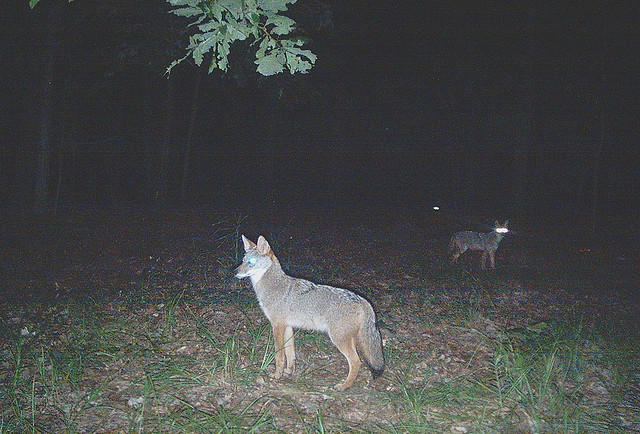 goodnumberone:  coyote in our woods by yugoplastika on Flickr.