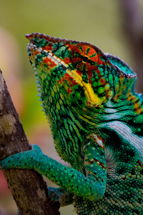 magicalnaturetour:  Chameleon by Ste & Kate :)