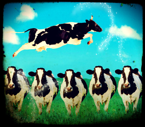 What Cows Dream   Jolly Wolly