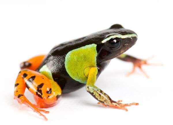 cordisre:    Pretty poison: a frog of the Mantella genus, found only on Madagascar.  Photograph by Joel Sartore