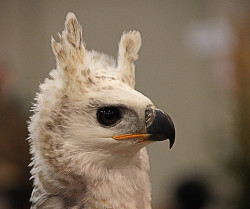 rhamphotheca:  fairy-wren: Crowned Eagle(Stephanoaetus coronatus) (photo by pe_ha45)