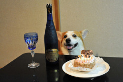 lookatthisfuckingcorgi:  This corgi is very excited about drinking some birthday champagne, even though its not his birthday and its not for him.