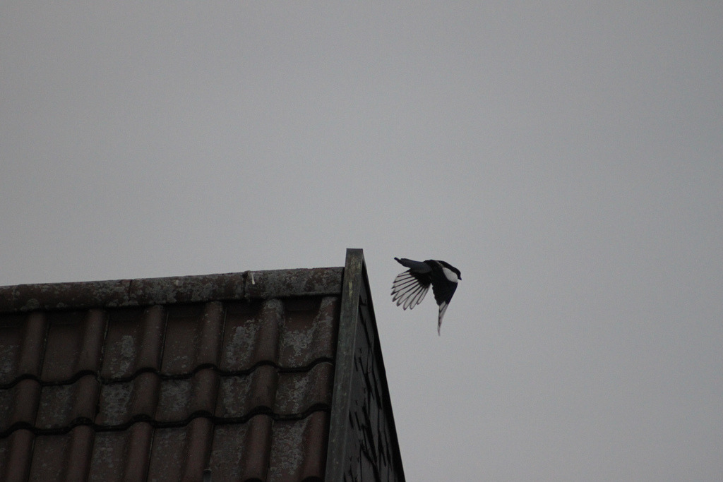 Elster startet vom Dach Magpie starts from the roof