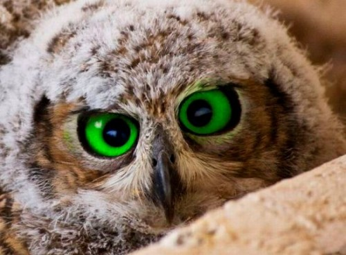 Green Eyed Owl Funny Pictures And Gif Collection Tumblr Funny Stuff Funny Facebook Pictures Fanpage http://www.facebook.com/FunnyPicturesCollection