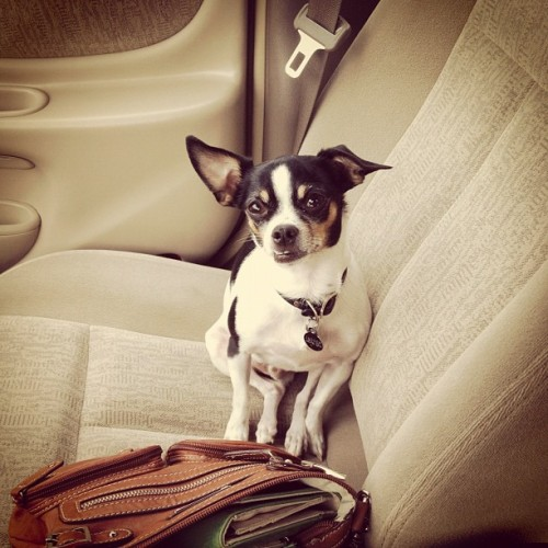 My man. #chihuahua (Taken with instagram)