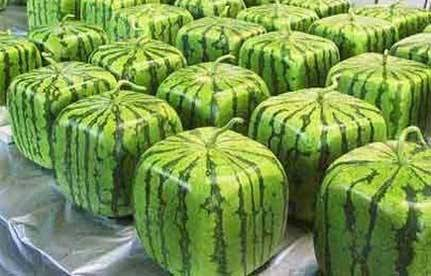 Square Watermelon Made in Japan to be more space efficient and stack-able. You can make your own… just grown your watermelon in a clear cube.