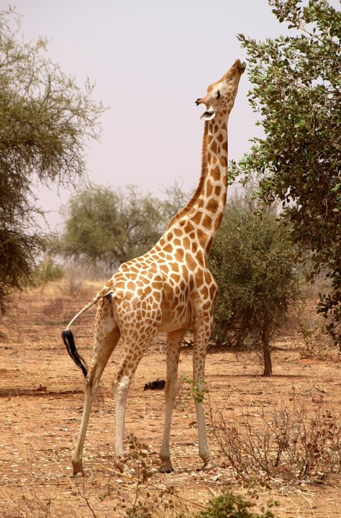 West African Giraffe Animal Of The Week Picture Day
