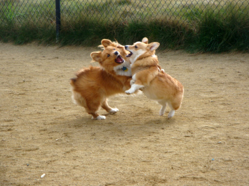 It's Corgi Wrasslin' Time!