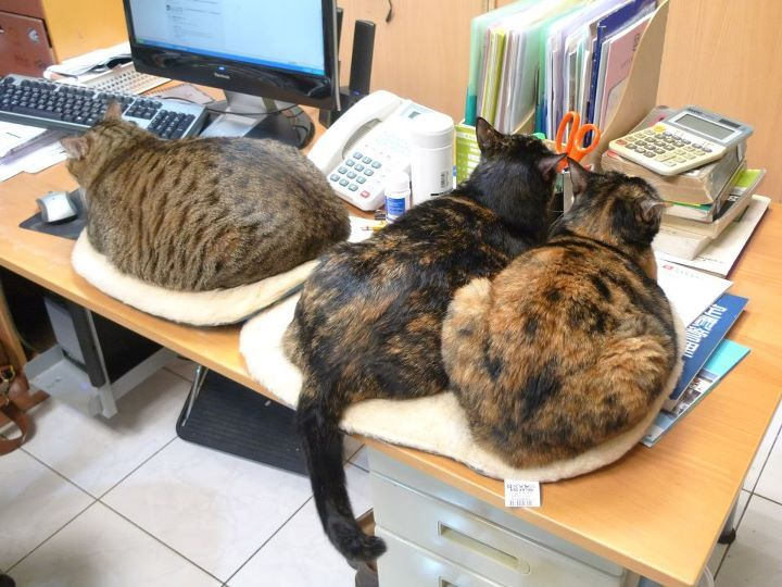Please, do not disturb. Cats working. Photo by ©Chin Hua