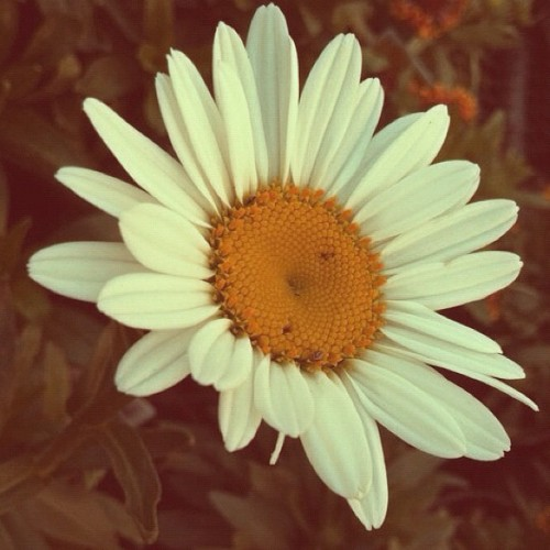 Sun Kissed Pedals - #photography #leaves #flowers #daisy #daisies #nature #sunshine #summer #flower #instagram