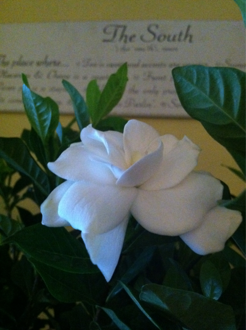 Gardenias in bloom in Georgia and smelling so sweet tonight. I found these for sale in a grocery store here last week, brought them home and have them on my mantel for now. Once they stop blooming I will move them to a sunny window then out to the garden in warmer weather. I once bought a container of gardenias at a grocery store, planted them in the sun by my front door, and had six-foot tall blooming, fragrant, bushes! I shall try it again.