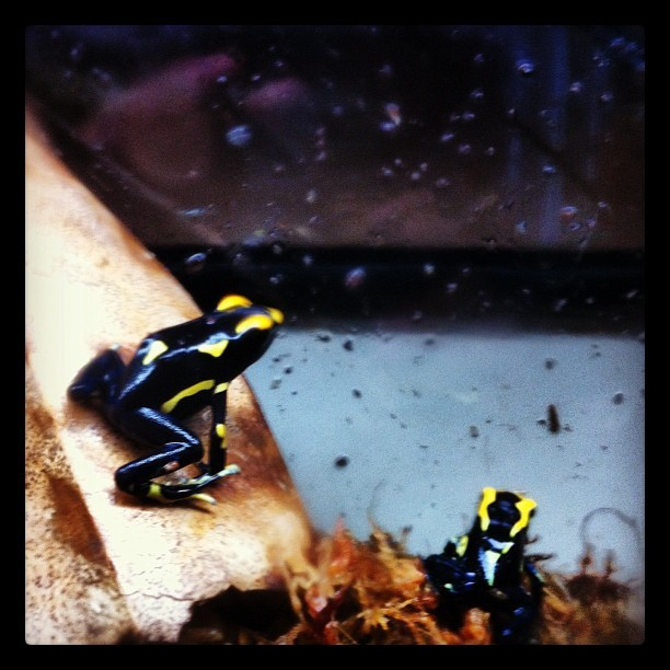The two new tinks from #joshsfrogs.com #dartfrog  (Taken with instagram)
