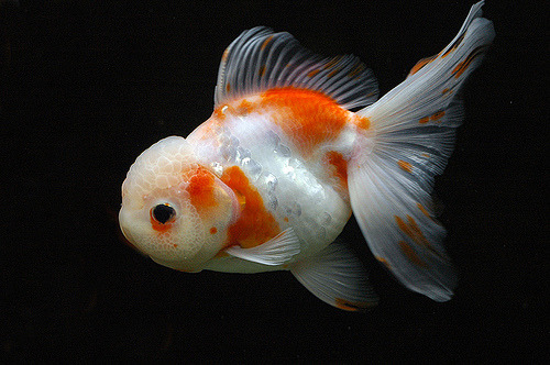 Goldfish | Cyprinus auratus var (by cleric_chan)