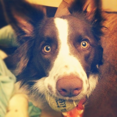 Jack loves his tennis ball (Taken with instagram)