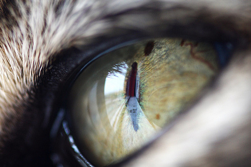 photogenicfelines:  Cat's eye (by turgidson)
