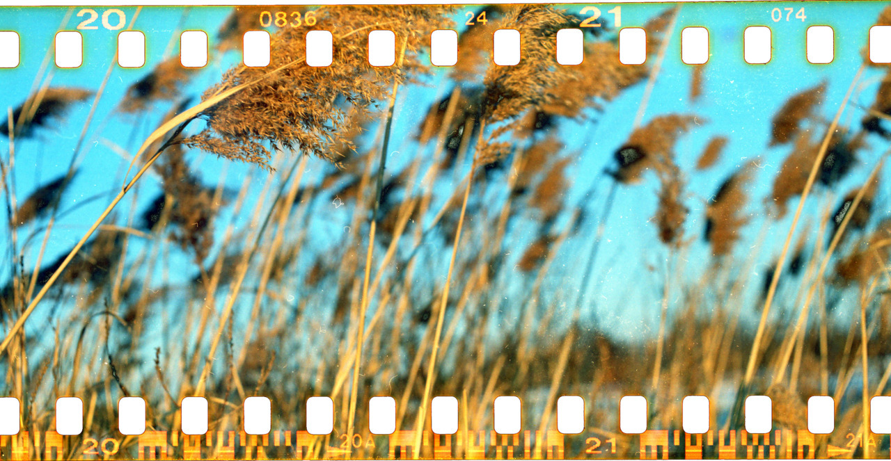Sprocket film of some wheat grass. Taken with my mamiya. Miss using that bad boy. I will have to take it for a spin this weekend :)
