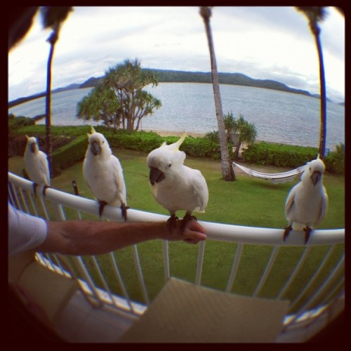 baskwith:  the little homies came back in numbers! #daydreamisland #cockatoo #homies #iphoneography (Taken with instagram)