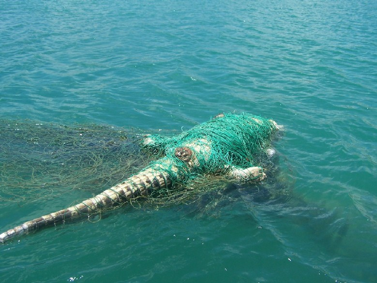 sexyactionplanet:  Ghost Nets don't discriminate…  [Ghost nets are fishing nets that have been abandoned at sea, lost accidentally, or deliberately discarded. They travel the oceans of the world with the currents and tides, continually fishing as they progress through the waters… This is an Australian Saltwater Crocodile found entangled in an Indonesian trawl net.] - Photograph by Jacky Castellain