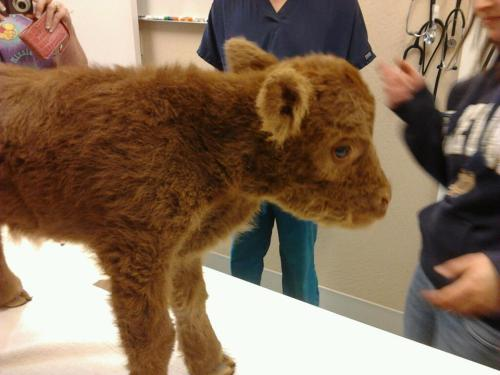 "OMG RIDIC! It's a baby cow! It looks like the love child of Alf and a Beanie Baby! Do they always look like that? So fuzzy! So cute! I NEED one. I'll trade my kidney for one! And you can have my liver too—though it's partially damaged.  This is from the Humane Society's Farm Animal Protection Campaign Facebook page. Cute pictures appear to be a trend over there so ""like"" them for more! (There's baby piggies!) UPDATE: Apparently this photo was taken by Matthew Rawlings who works at a vet clinic."