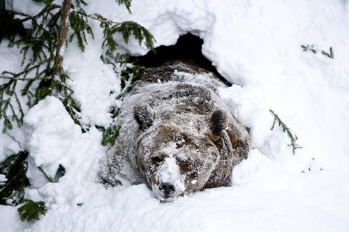 npr:  newsflick:  Ranua, Finland: a male brown bear wakes from hibernation at Ranua zoo.  GPOY of Monday mornings all over the world. -Savy