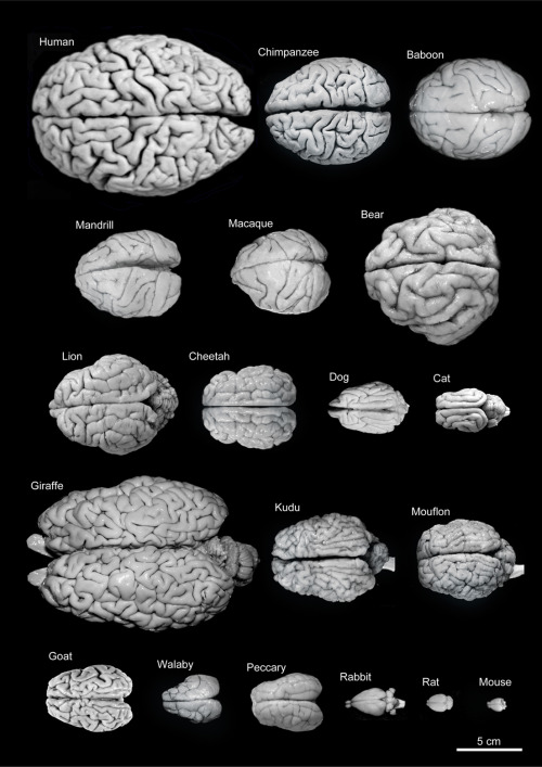 "jtotheizzoe:  scipsy:  Variability of brain size and external topography. Photographs and weights of the brains of different species. Primates: human (Homo sapiens, 1.176 kg), chimpanzee (Pan troglodytes, 273 g), baboon (Papio cynocephalus, 151 g), mandrill (Mandrillus sphinx, 123 g), macaque (Macaca tonkeana, 110 g). Carnivores: bear (Ursus arctos, 289 g), lion (Panthera leo, 165 g), cheetah (Acinonyx jubatus, 119 g), dog (Canis familiaris, 95 g), cat (Felis catus, 32 g). Artiodactyls: giraffe (Giraffa camelopardalis, 700 g), kudu (Tragelaphus strepsiceros, 166 g), mouflon (Ovis musimon, 118 g), ibex (Capra pyrenaica, 115 g); peccary (Tayassu pecari, 41 g). Marsupials: wallaby (Protemnodon rufogrisea, 28 g). Lagomorphs: rabbit (Oryctolagus cuniculus, 5.2 g). Rodents: rat (Rattus rattus, 2.6 g), mouse (Mus musculus, 0.5 g). (via Frontiers)  What the hell is going on with that rabbit brain? Huge olfactory bulb on the left (as in the rat and mouse, big smellers) and an inverted cerebellum on the right hanging off like a couple ""brain eyes""."