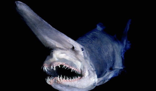 Goblin sharks are rarely found because they are known to live thousands of feet below sea level, they have a semi-transparent skin that gives them a pink coloring.