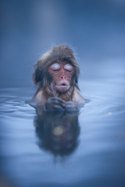 Thank God It's Friday… Japanese Snow Monkey settles in to a hot spring bath at Jigokudani, Nagano, Japan (by Ben Torode)