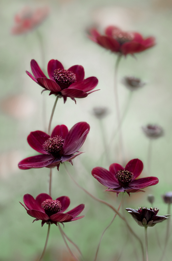 aun-from:  Cosmos sway by Mandy Disher