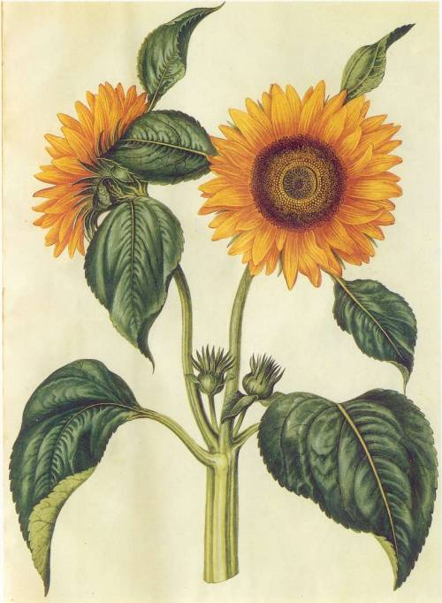 scientificillustration:  Helianthus annuus L.- Sunflower From: Gottorfer Codex, (1649-1659)