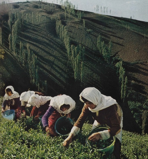Tea leaf harvest, Iran, January 1975