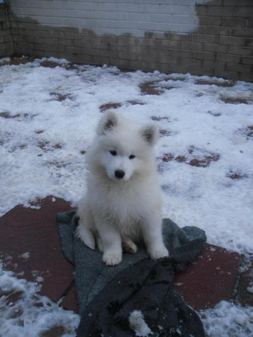 samoyed ! my new dog ~