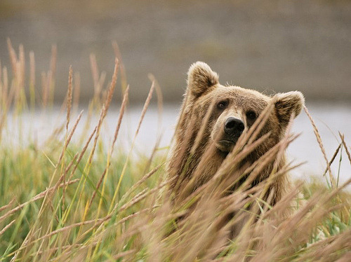 "woodlandswanderer:  ""hmm?"" bear pic of the day  mtngirl911's flickr"