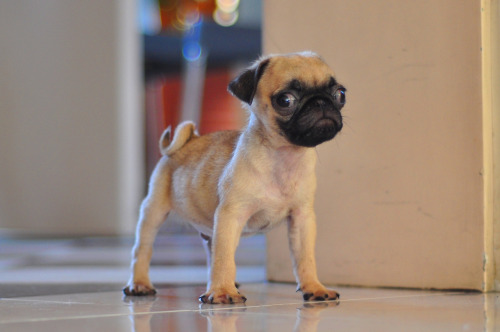 mugsofpugs:  The pint size eye-buggyness is going to make my heart explode. I can't take the cuteness. retrophysico:  Meet my new dog, Jedi.